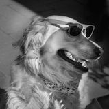 Golden retriever wearing sunglasses Stock Photos