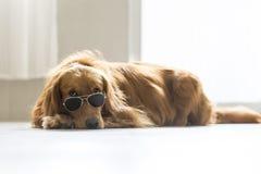 Golden Retriever wearing sunglasses Stock Image