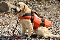 Golden retriever wearing water rescue life jacket. Sitting golden retriever dog wearing water rescue life vest on sunny day stock image
