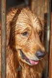 Golden Retriever Wet After Swim Royalty Free Stock Images