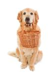 Golden Retriever, which holds wicker pannier Stock Photos