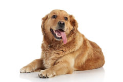 Golden Retriever on white background Royalty Free Stock Images