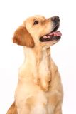 Golden retriever on white Royalty Free Stock Photo
