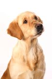 Golden retriever on white Royalty Free Stock Image