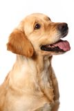 Golden retriever on white Royalty Free Stock Photography