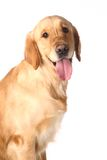 Golden retriever on white Stock Photos