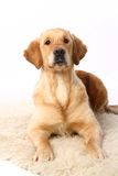 Golden retriever on white Stock Image