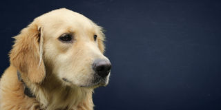 Golden retriever wide screen wallpaper Royalty Free Stock Photography