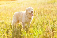 Golden retriever-Wiese Stockfoto