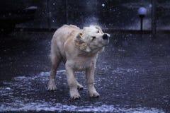 Golden retriever in winter park Royalty Free Stock Image