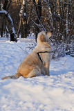 Golden Retriever in Winter Park. Golden Retriever walking in winter park Stock Photos