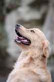 Golden retriever. In winter time Royalty Free Stock Images