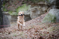 Golden retriever. In winter time Royalty Free Stock Image