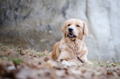 Golden retriever. In winter time Stock Photos