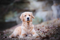 Golden retriever. In winter time Stock Image