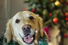 Chrismas Retriever stock images