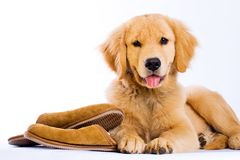 Golden Retriever With Slippers Stock Photography