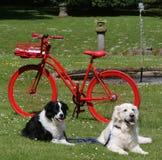 Golden retriever y border collie delante de la bici roja en el parque imagen de archivo libre de regalías