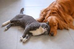 Golden retriever y gato británico del pelo corto imagen de archivo