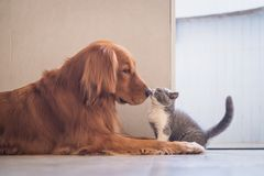 Golden retriever y gato británico del shorthair imágenes de archivo libres de regalías