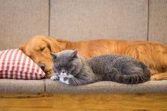Golden retriever y sueño del gato en el sofá fotos de archivo libres de regalías
