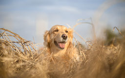 Golden retriever in yellow grass Royalty Free Stock Images