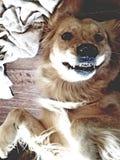 Golden retriever zęby zdjęcie royalty free