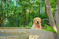 Golden retriever z Czerwonym szalika obsiadaniem i Relaksować w Kamiennej Kąpielowej balii Fotografia Royalty Free