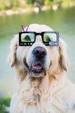 Golden retriever z okularami przeciwsłonecznymi obraz stock