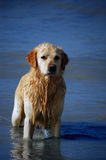 golden retrievera Zdjęcia Royalty Free