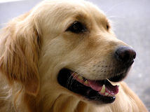 golden retrievera Obrazy Royalty Free