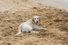 golden retrievera na plaży Fotografia Stock