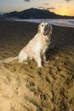 golden retrievera na plaży Zdjęcia Royalty Free