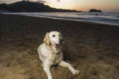 golden retrievera na plaży Zdjęcia Stock