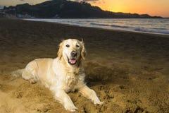 golden retrievera na plaży Zdjęcie Stock