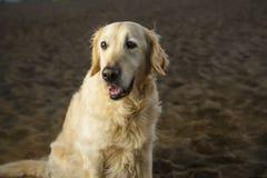 golden retrievera na plaży Zdjęcie Royalty Free
