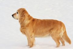 golden retrievera śnieg Obraz Stock