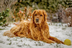 golden retrievera śnieg Obraz Royalty Free