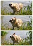 Golden retrievercollage som skakar i floden Arkivbilder