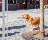 Golden retrieverhond, aan een boom en het wachten op zijn eigenaar, de mening van koffievenster dat wordt gebonden stock fotografie
