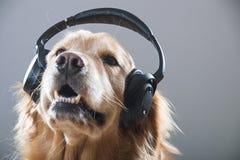Golden retrieverhond die aan muziek door hoofdtelefoons luisteren, Stock Foto's