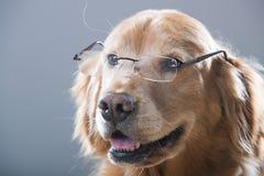 Golden retrieverhond die en glazen glimlachen dragen Royalty-vrije Stock Fotografie
