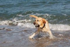Golden retrieverhond die en pret in het overzees spelen hebben Stock Fotografie