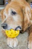Golden retrieverhond die gele bal spelen Stock Fotografie