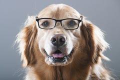 Golden retrieverhond die Glazen dragen Stock Afbeelding