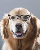 Golden retrieverhond die Glazen dragen Stock Foto's