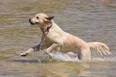 Golden retrieverhond die in het overzees lopen stock foto's