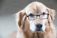 Golden retrieverhond die meer dan een paar lezingsglazen kijken Royalty-vrije Stock Foto