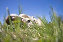 Golden retrieverhond die op gras liggen en van grasniveau kijken Royalty-vrije Stock Fotografie