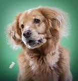 Golden retrieverhond die popcorn proberen te vangen stock afbeeldingen